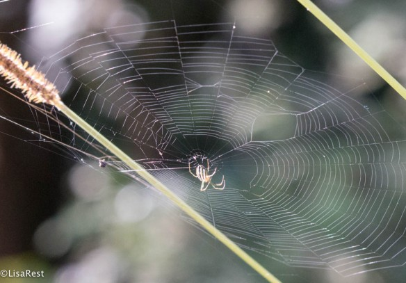 Spider in web 11-22-2017-0270