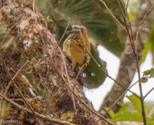 Yellow-vented Woodpecker 11-23-2017-0771