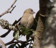 Ash-Breasted Sierra-Finch