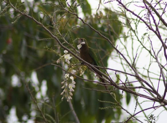 Aztec Parakeet-Tikal-2-21-09
