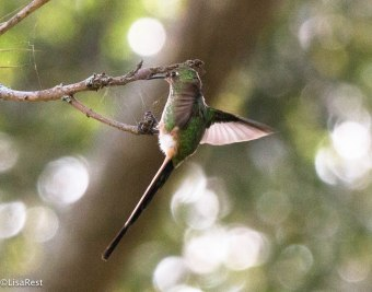 Black-Tailed Trainbearer 11-27-17-3232