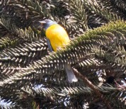 Blue-and-Yellow Tanager 11-27-17-3106