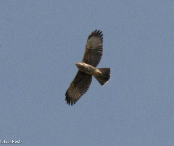 Broad-Winged Hawk 11-27-17-3105