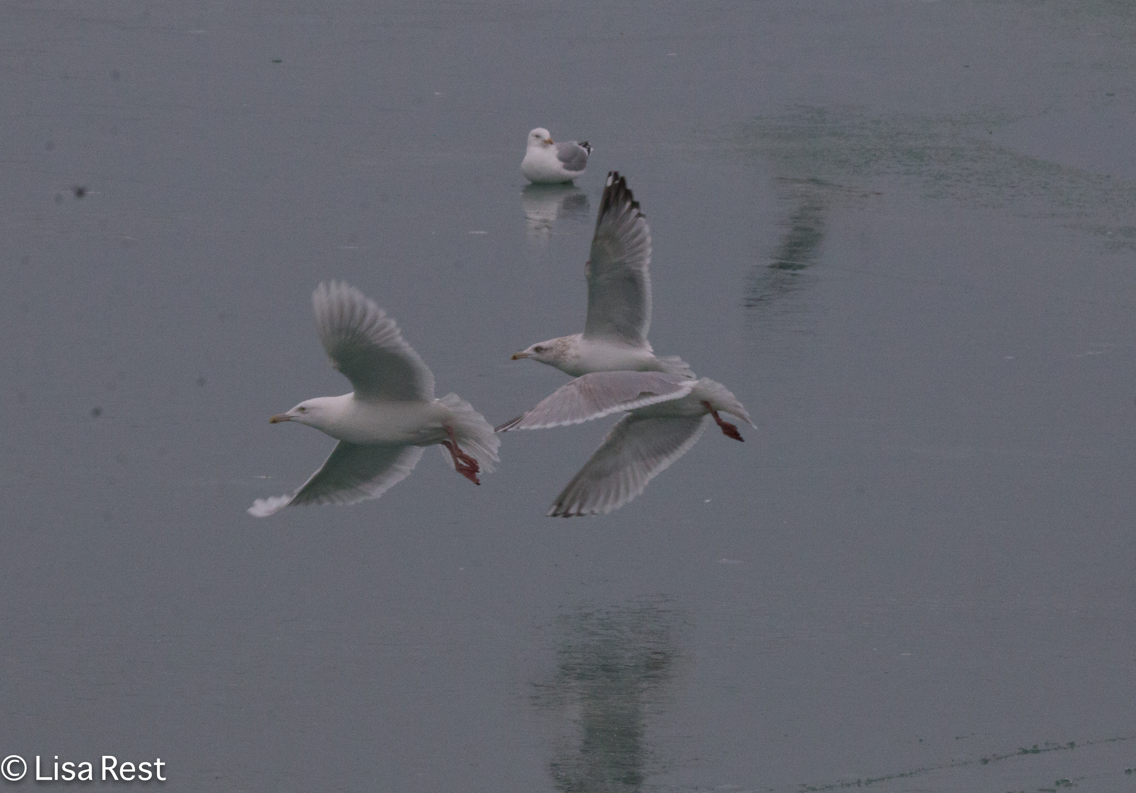 Glaucous Frolicking 02-17-2018-5900