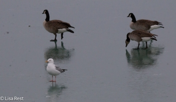 Glaucous with geese 02-17-2018-5877