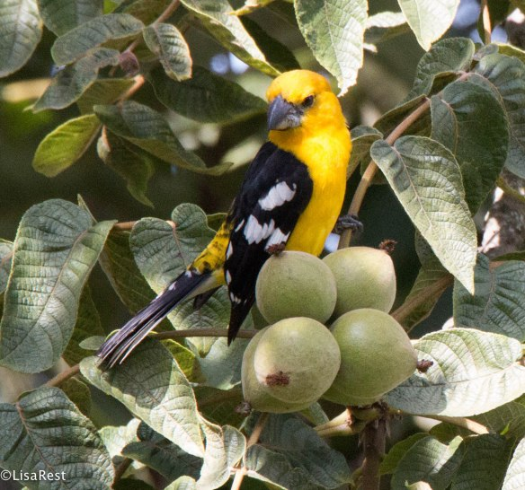 Golden Grosbeak 11-27-17-3163
