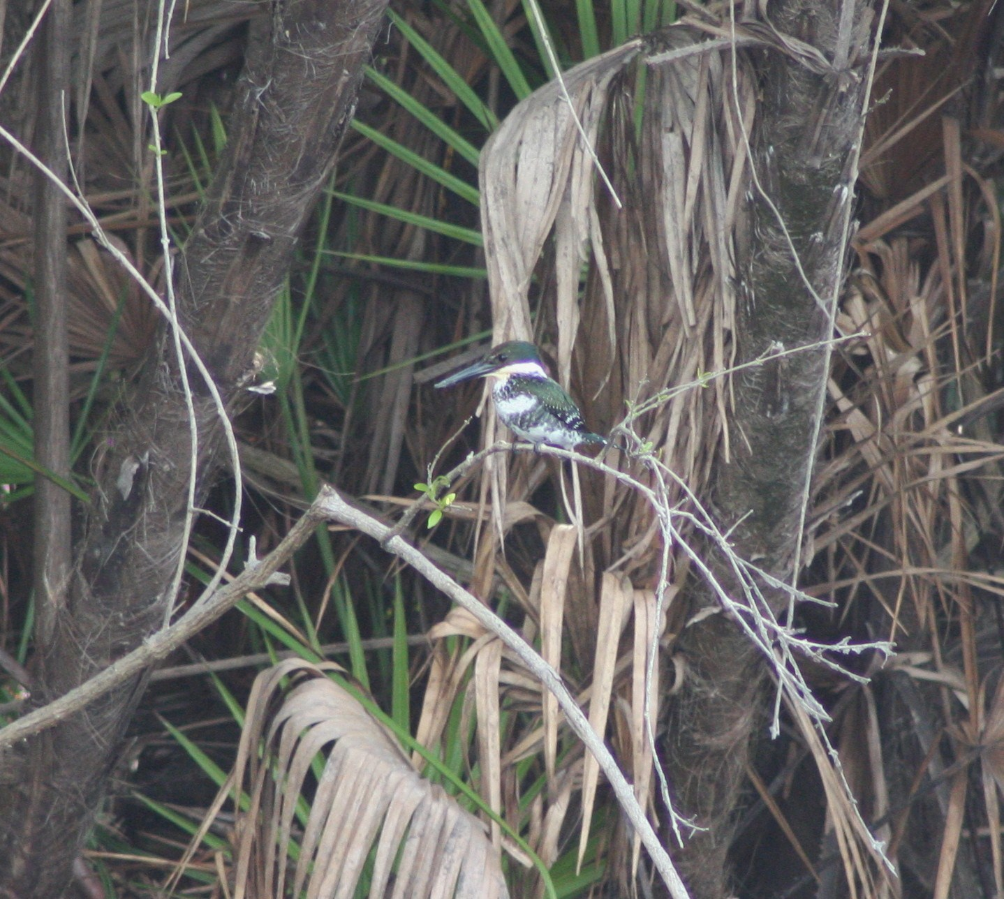 Green Kingfisher 2-15-09