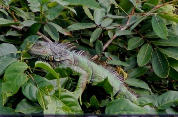 Iguana 2-14-09