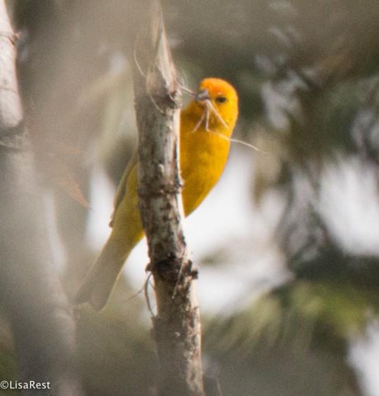 Saffron Finch 11-27-2017-3049