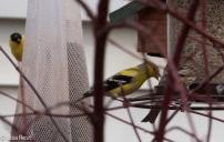 Yard birds 04-08-18-9204