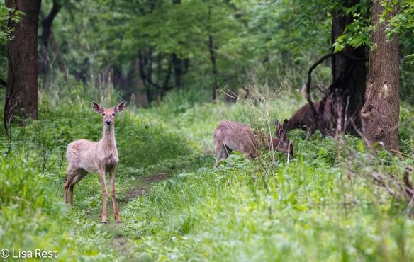 Deer 5-19-18-4267