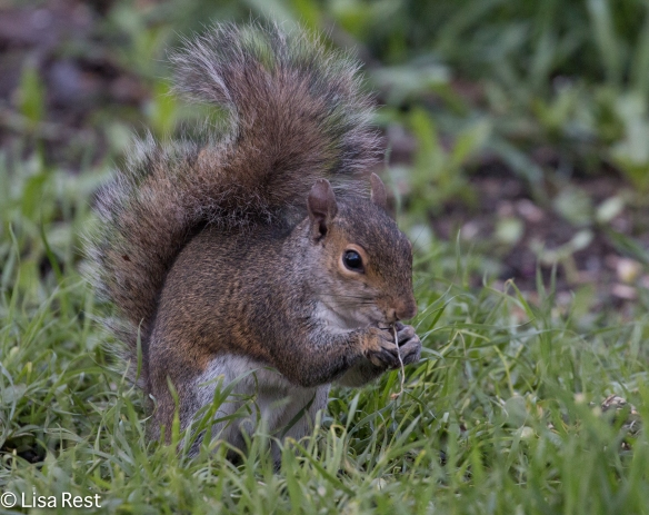 Squirrel 5-5-18-2295