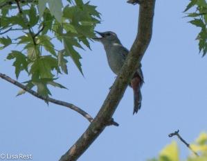 Gray Catbird 6-16-18-5116