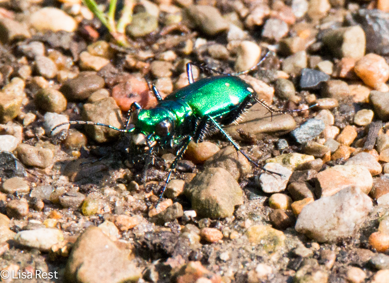Green Tiger Beetle 6-16-18-5168