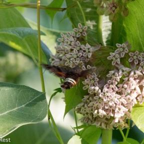 Sphynx Moth 2-24-18-5514