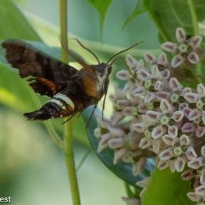 Sphynx Moth 2-24-18-5521