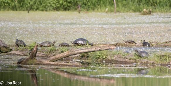 Turtles 6-24-18-5638