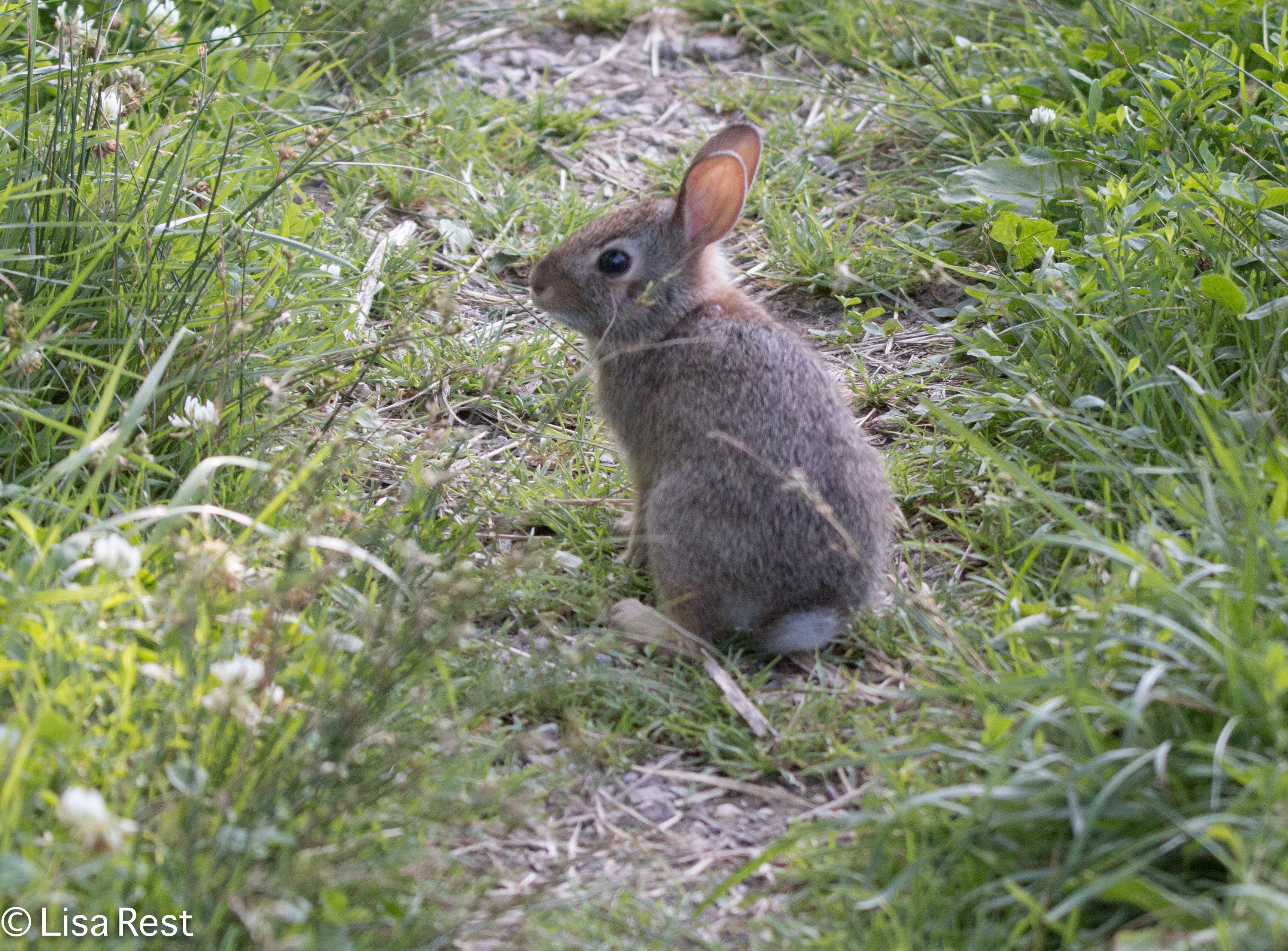 Bunny 6-30-18-5943