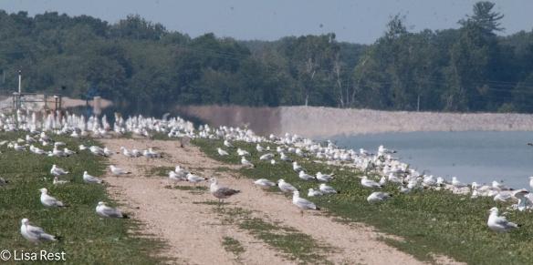 Gulls 7-16-18-6801