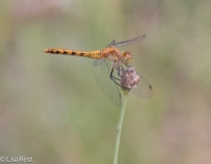 Little Blue Dragonlet (female)