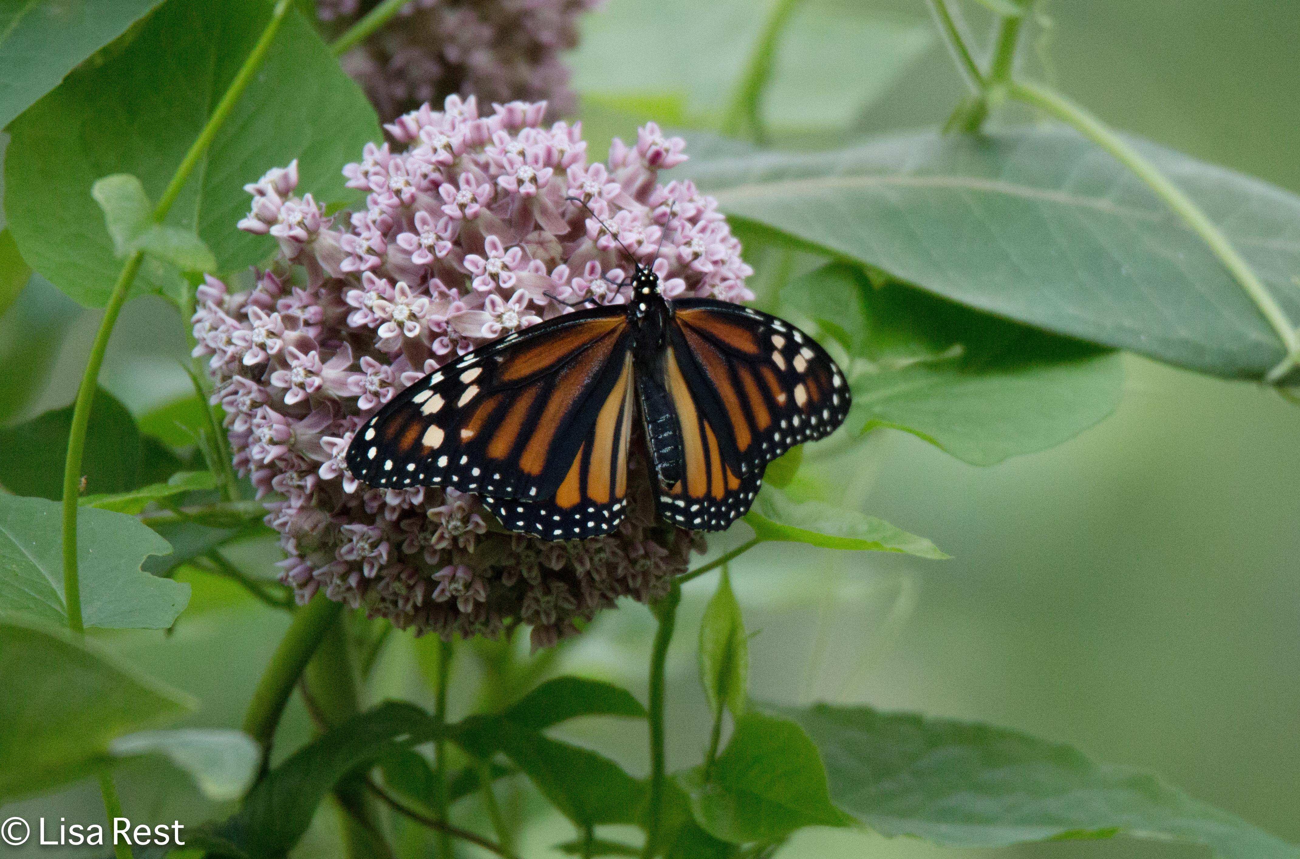 Monarch 6-30-18-5827