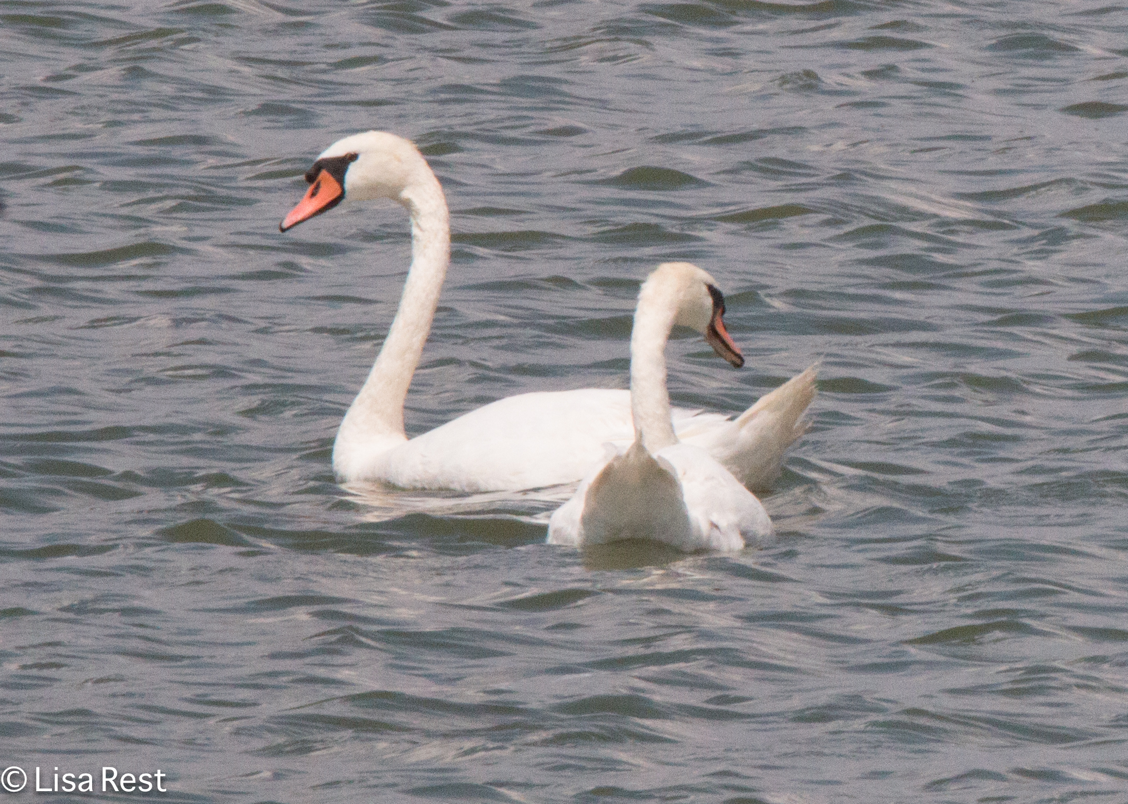 Mute Swans 7-16-18-6798