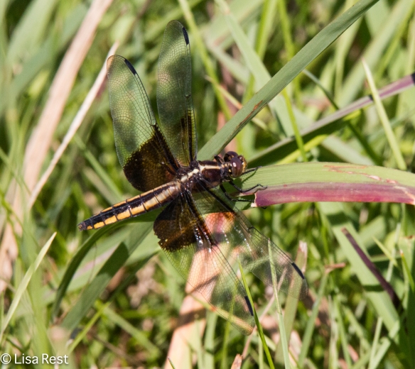 Widow Skimmer (Female) 7-7-18-6370