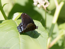 Red-spotted Purple 7-28-18-7226
