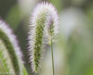 Grass at McGinnis 8-19-18-7992