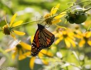 Monarch 8-31-18-8573