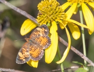 Pearl Crescent Butterfly 8-31-18-8583