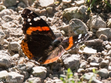 Red Admiral Butterfly 8-31-18-8538