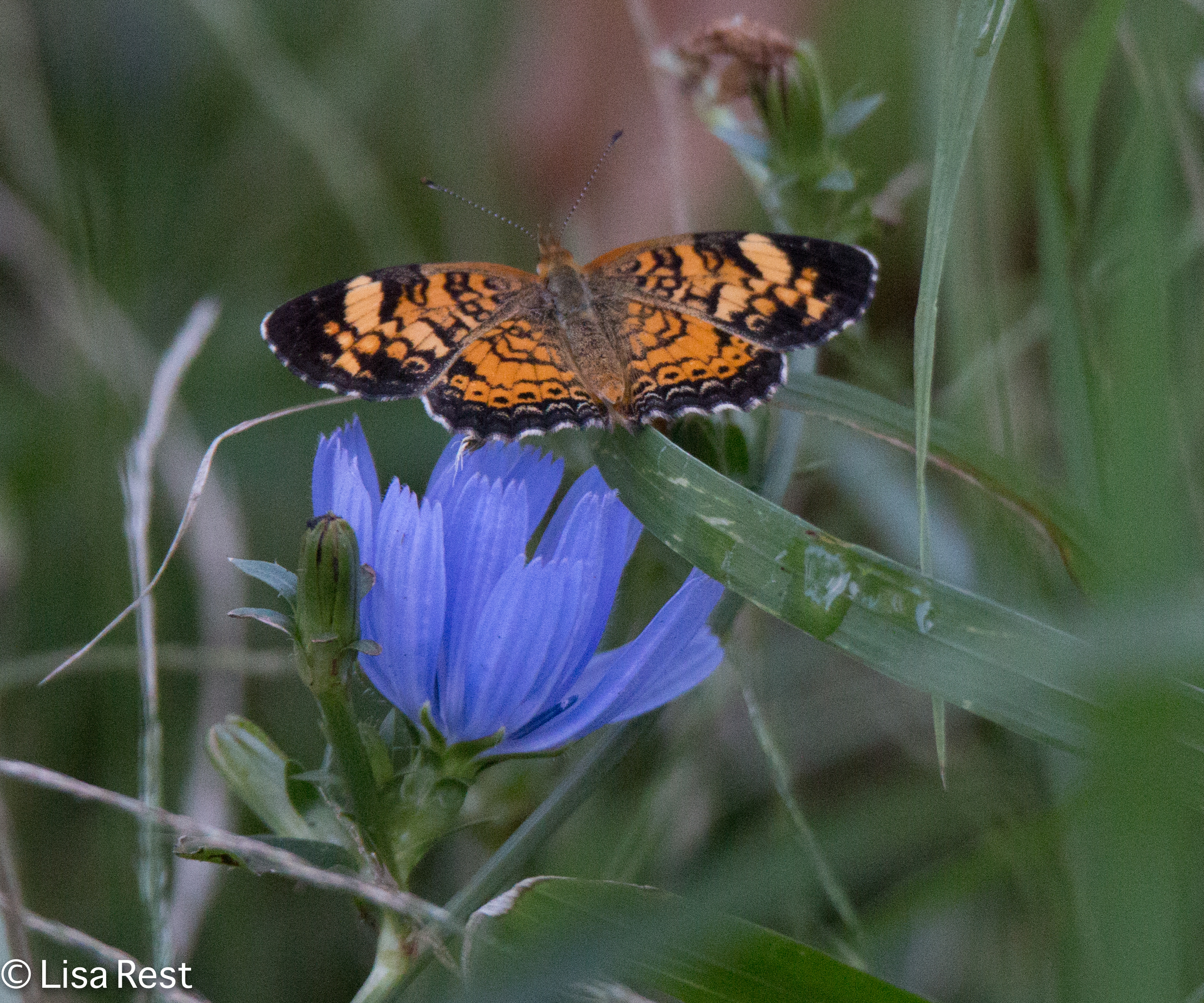 Silvery Checkerspot Butterfly 8-31-18-8756