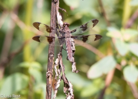 12-Spotted Skimmer 9-2-18-8967