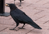 Crow 9-16-18-0351
