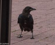 Crow 9-16-18-0361