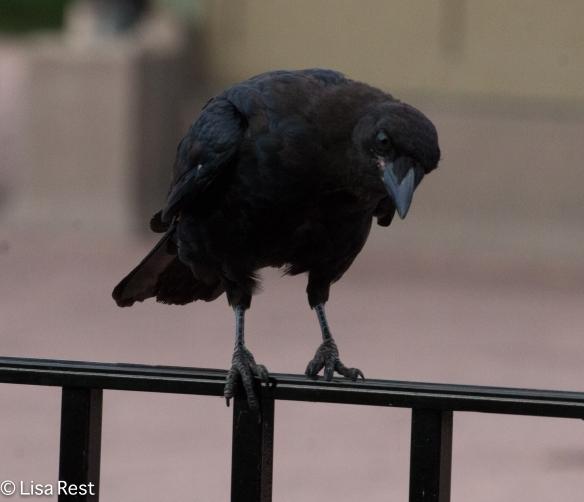 Crow 9-16-18-0365
