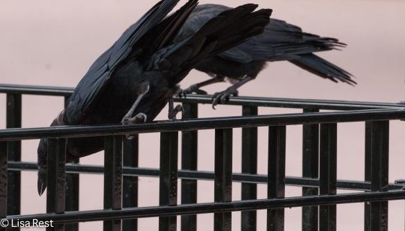 Crow 9-16-18-0376
