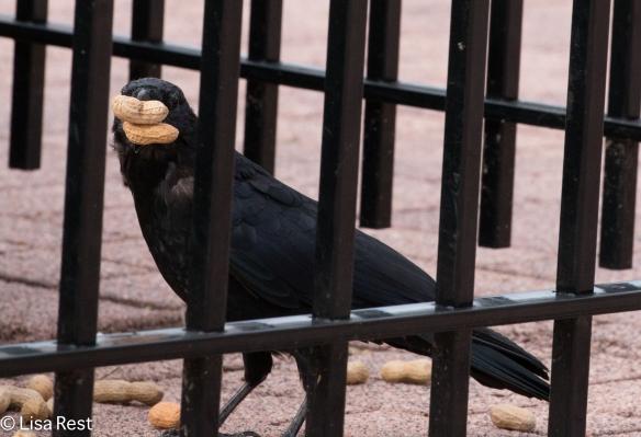 Crow 9-16-18-0380