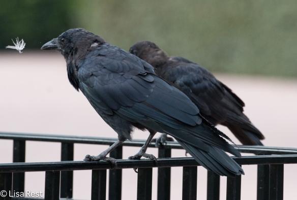 Crow 9-16-18-0392