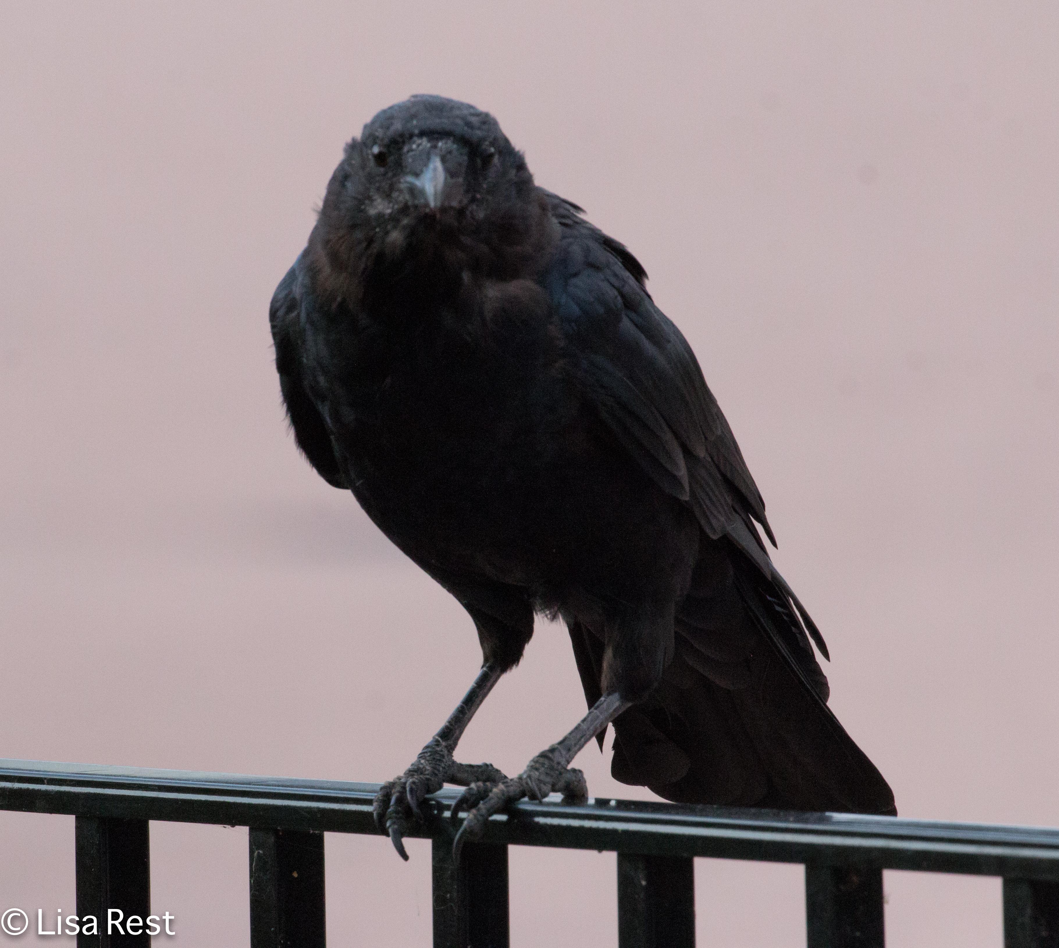 Crow 9-16-18-0401