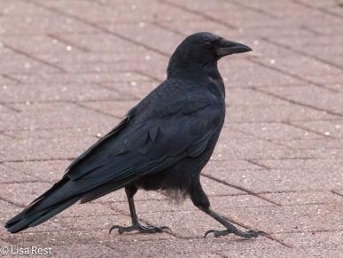 Crow 9-16-18-0414