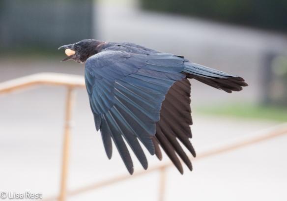Crow 9-16-18-0443