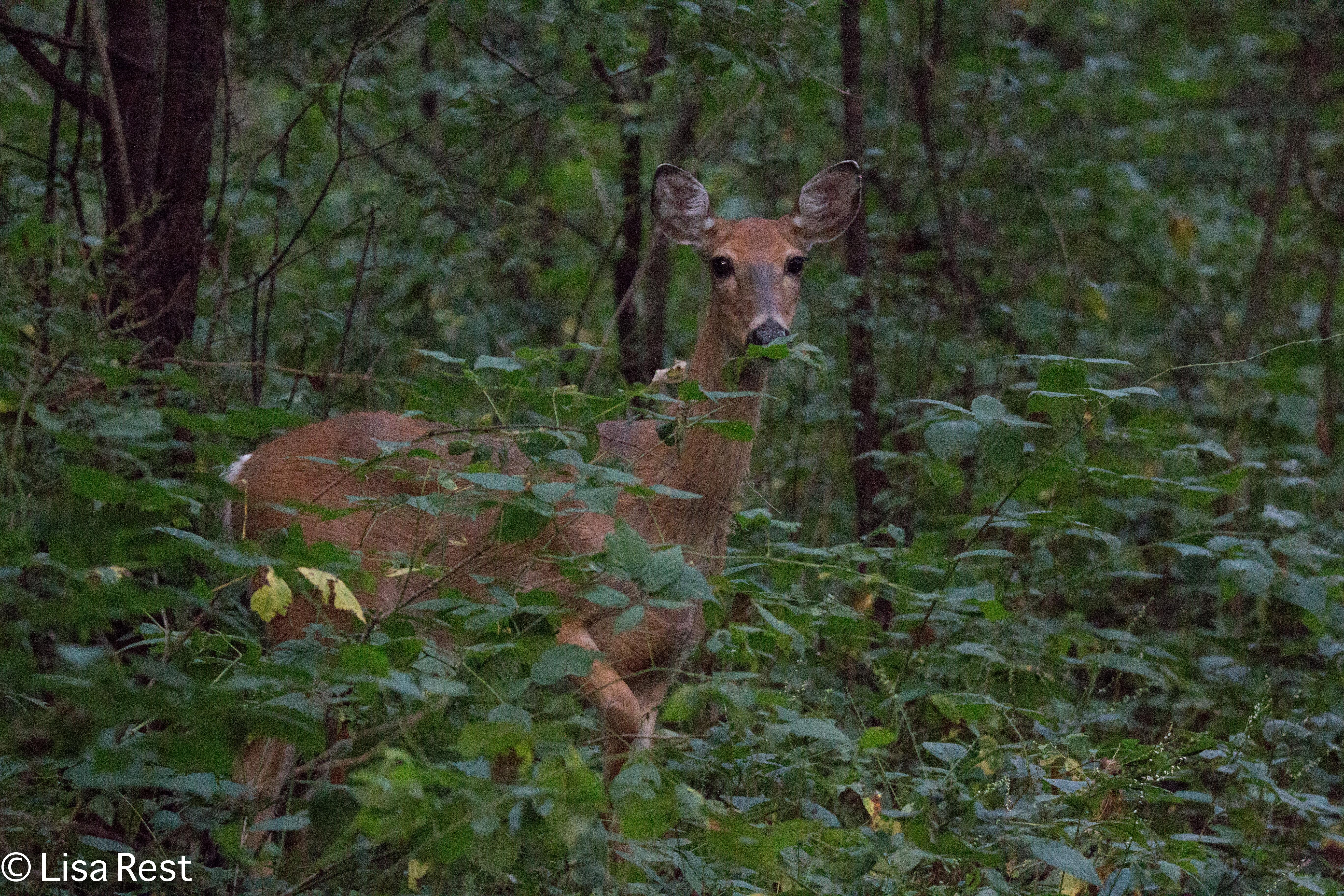 Deer 9-2-18-8770