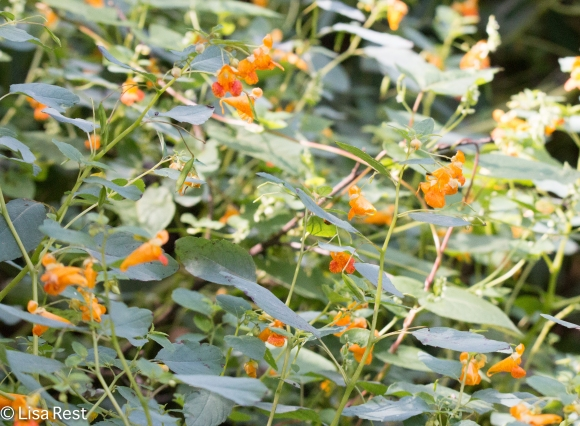 Jewelweed 9-2-18-8977