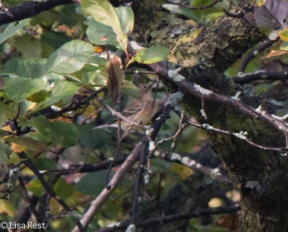 Baypoll Warbler Columbus Park 10-6-18-1955